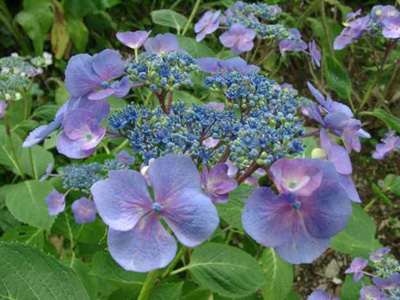 SHAMROCK COLLECTION NATIONALE D'HYDRANGEA (CCVS)